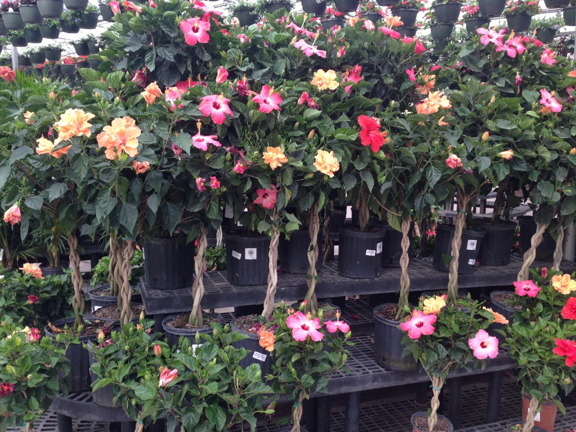 Braided multicolor hibiscus plant library pahls market apple click here to purchase izmirmasajfo